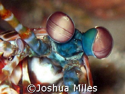Mantis Shrimp, I love the way these guys move. GBR by Joshua Miles